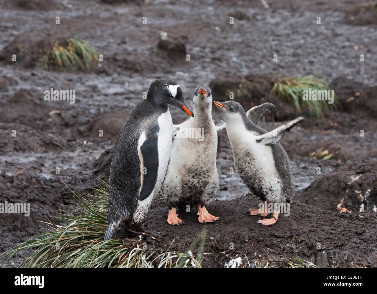 Gentoo Penguin Pygoscelis papua with chick, Holmestrand, South Georgia, January - Stock Image