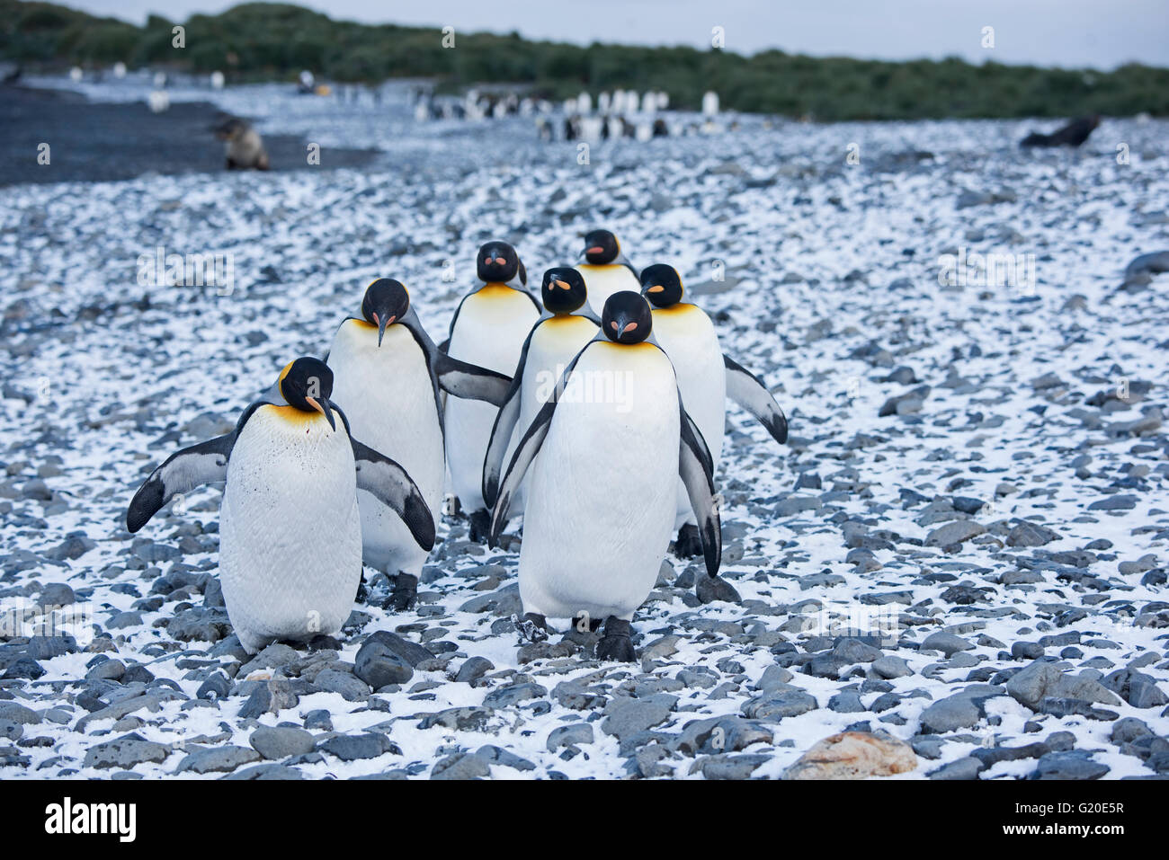 King Penguins Aptenodytes patagonicus Holmestrand South Georgia - Stock Image
