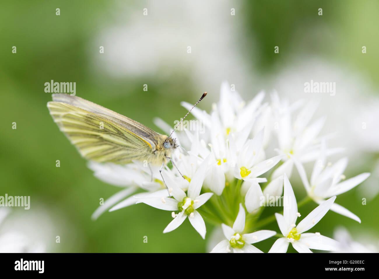 Green-veined white (Pieris napi) Butterfly on Ramsons (Allium ursinum) flower head, England, UK - Stock Image