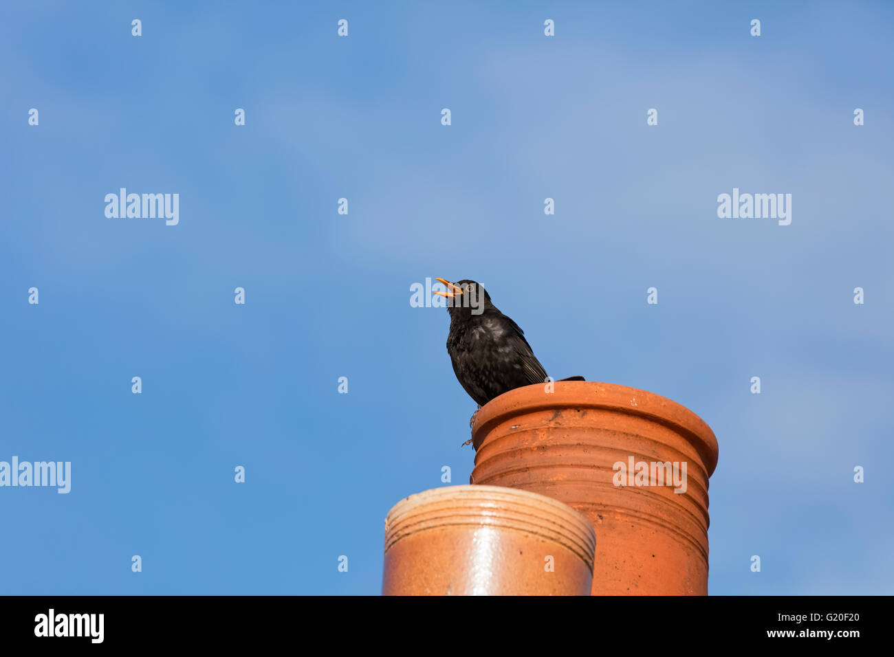 Blackbird perched on a chimney with a bright blue sky behind and with its beak open - Stock Image