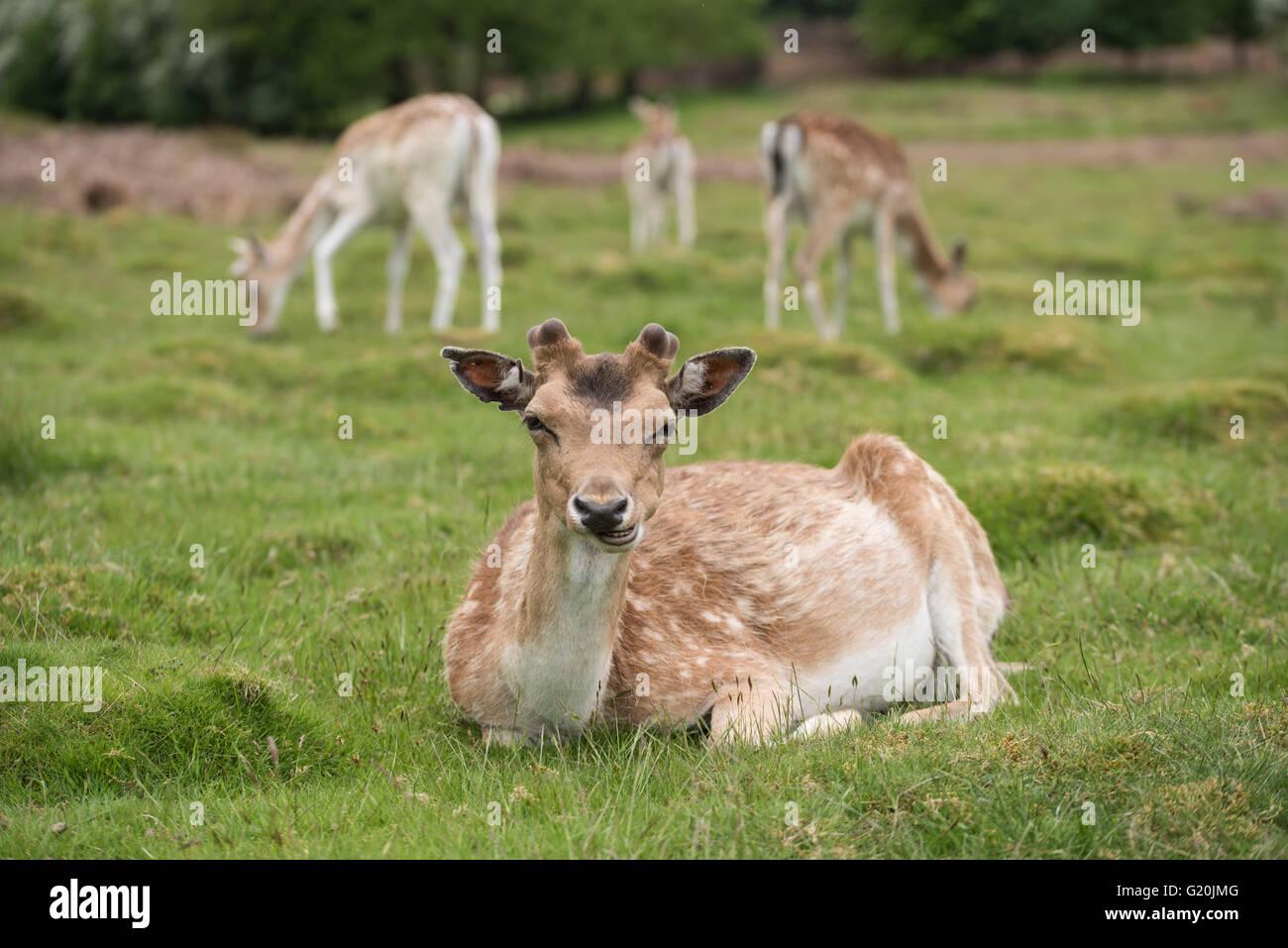 Deer laying down - Stock Image