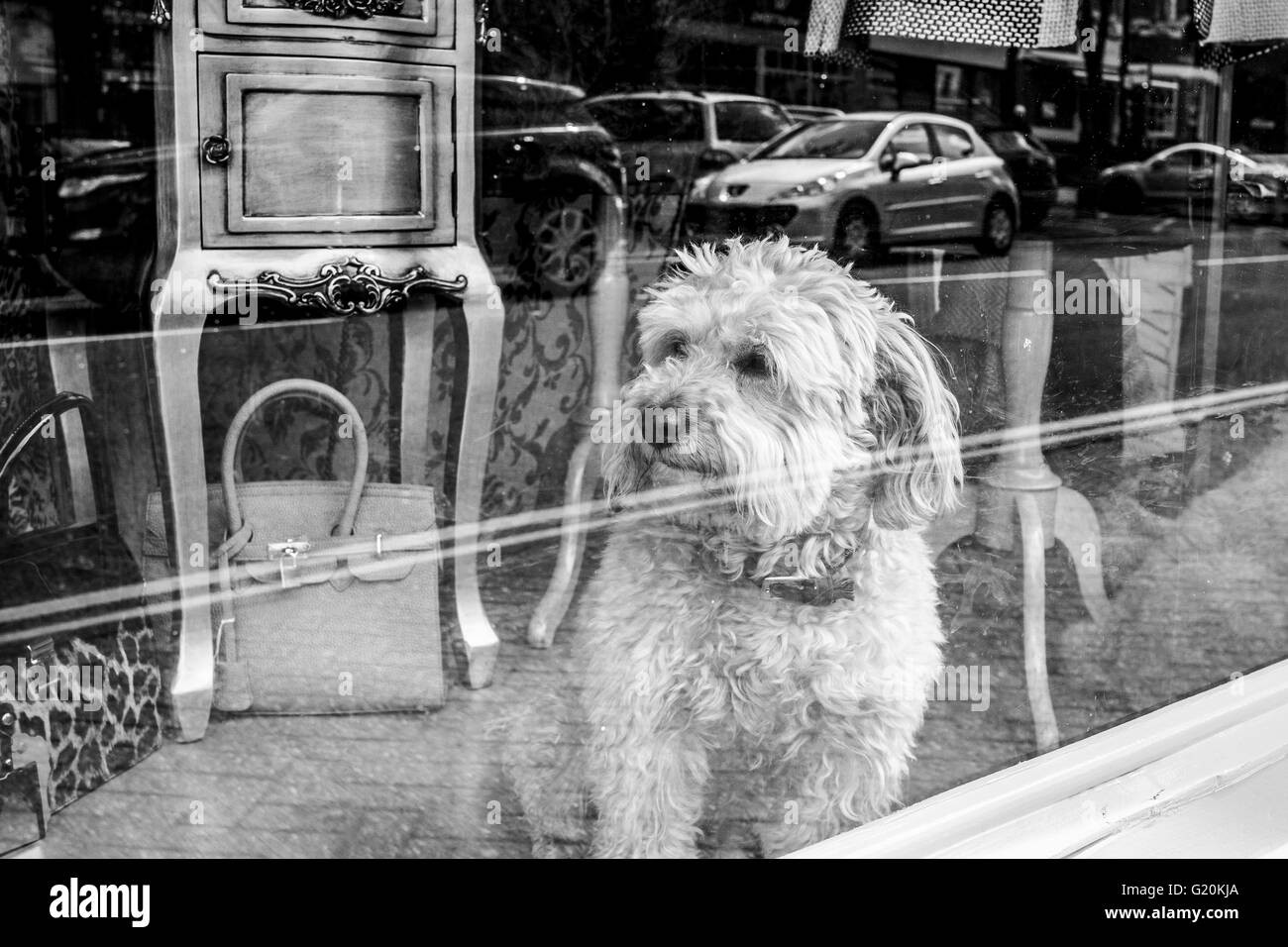 Small Dog watching the world go by through a shop Window - Stock Image