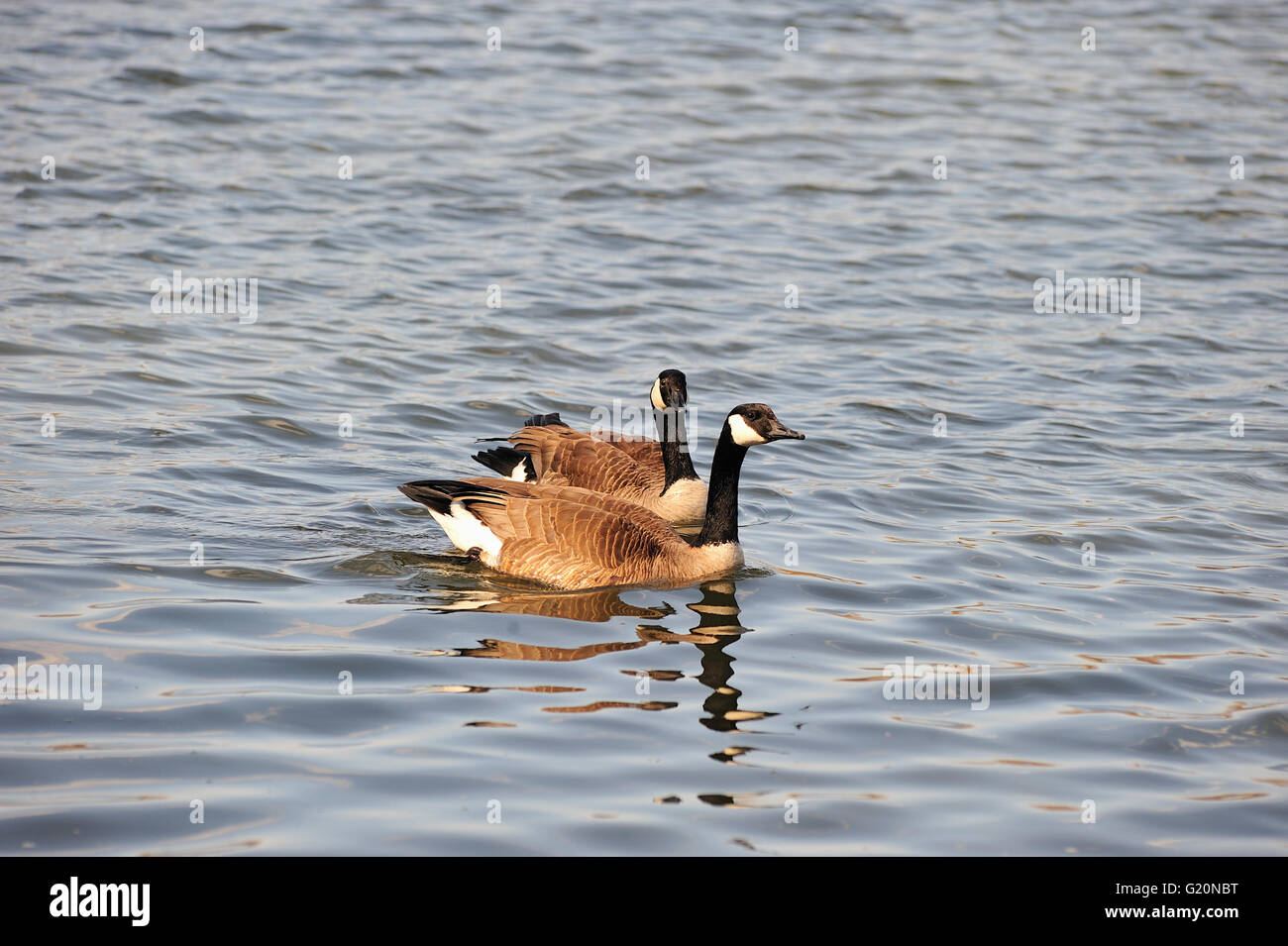 A pair of geese rest by floating along the Des Plaines River in Joliet, Illinois, USA. Stock Photo