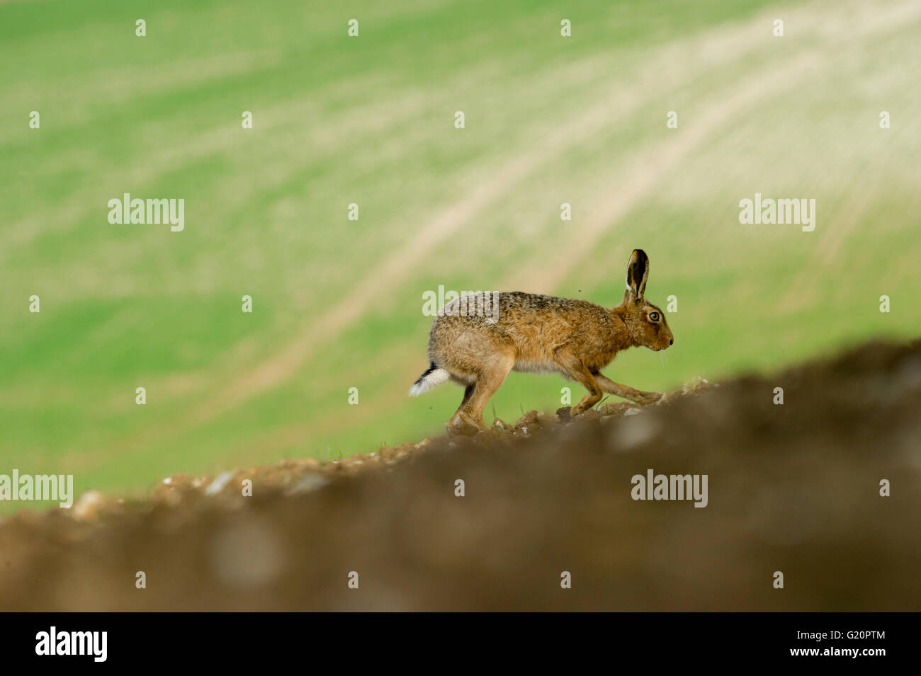 Brown Hare Lepus europaeus Nrfolk spring - Stock Image