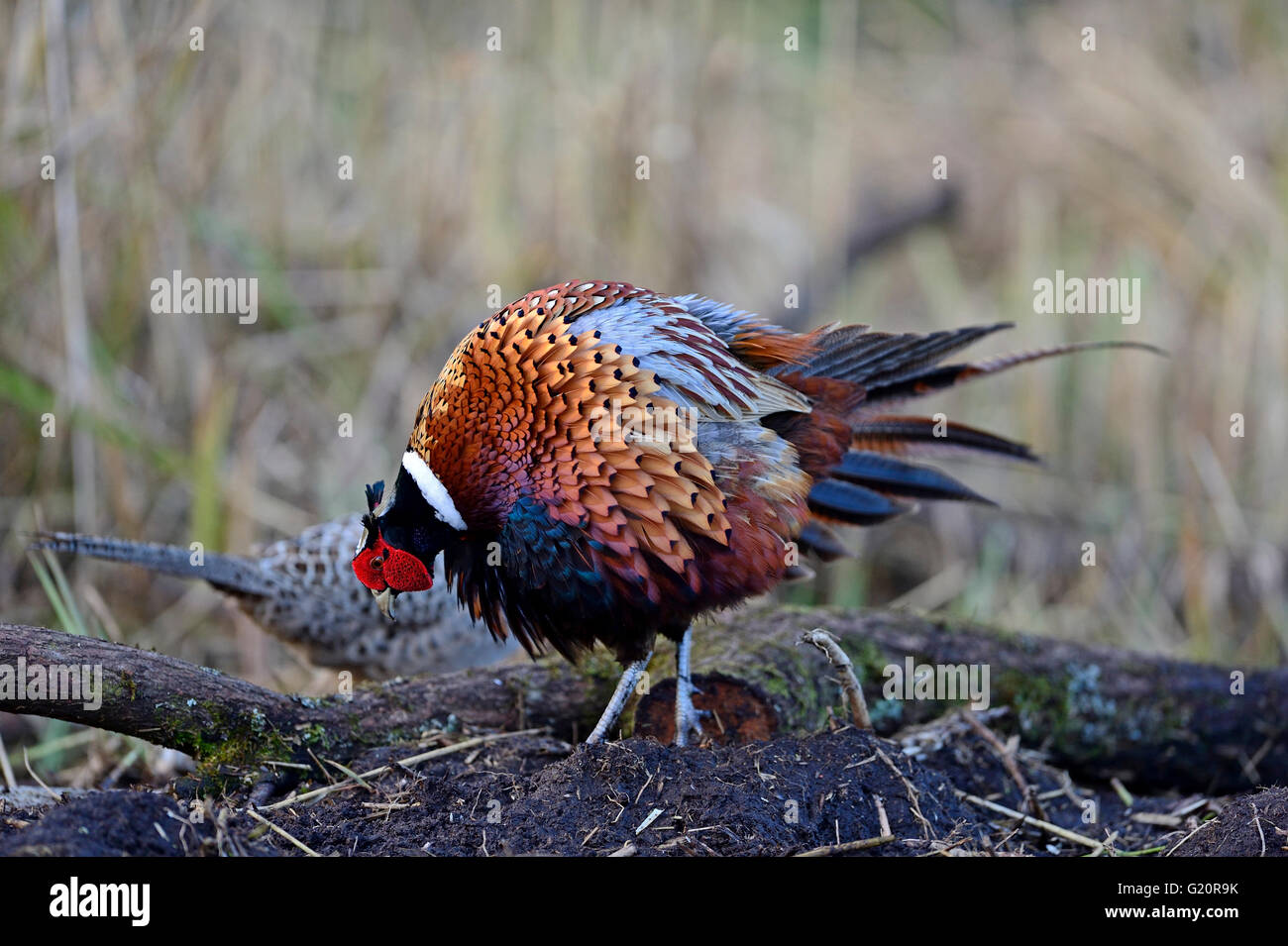 Common Pheasant Phasianus colchicus male displaying to female Norfolk Stock Photo