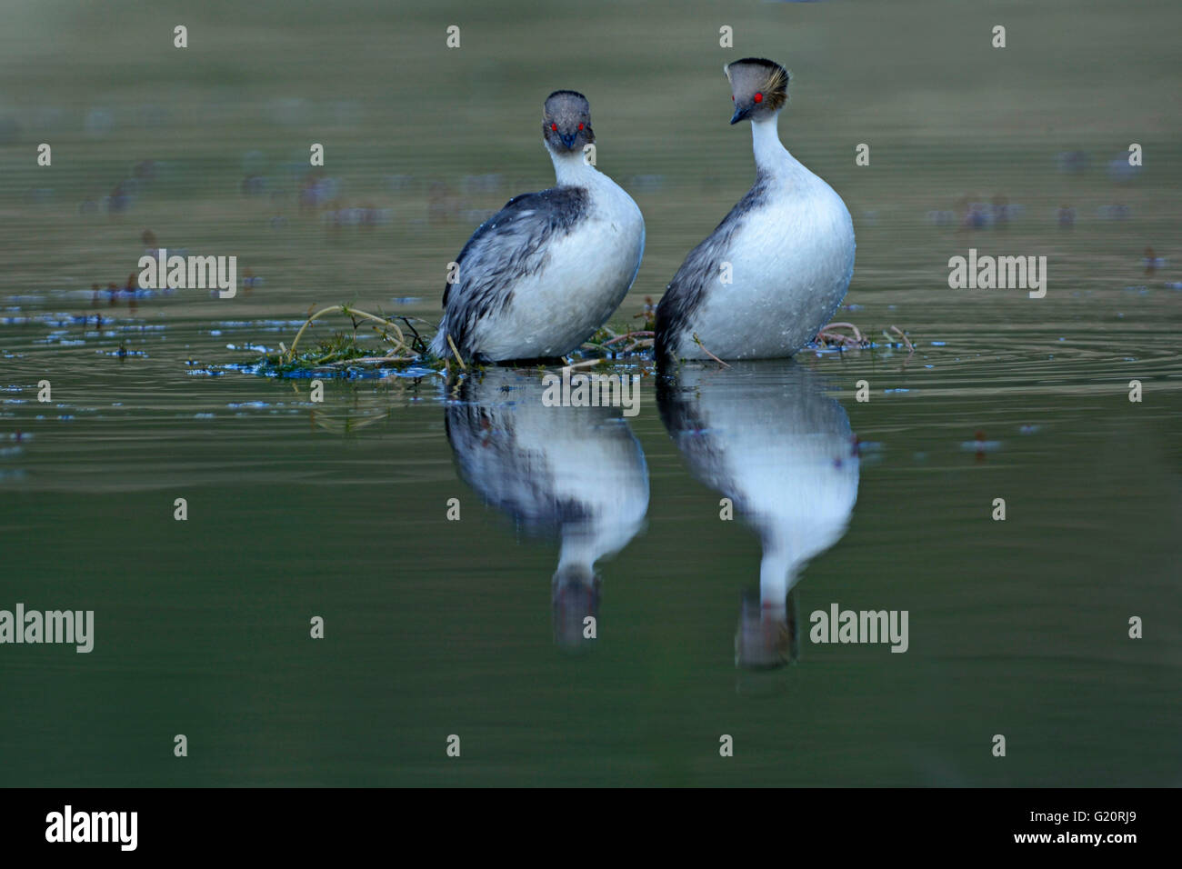 Silvery Grebes Podiceps occipitalis, pair in courtship dance Laguna Azul, Torres del Paine NP Chile Patagona Stock Photo