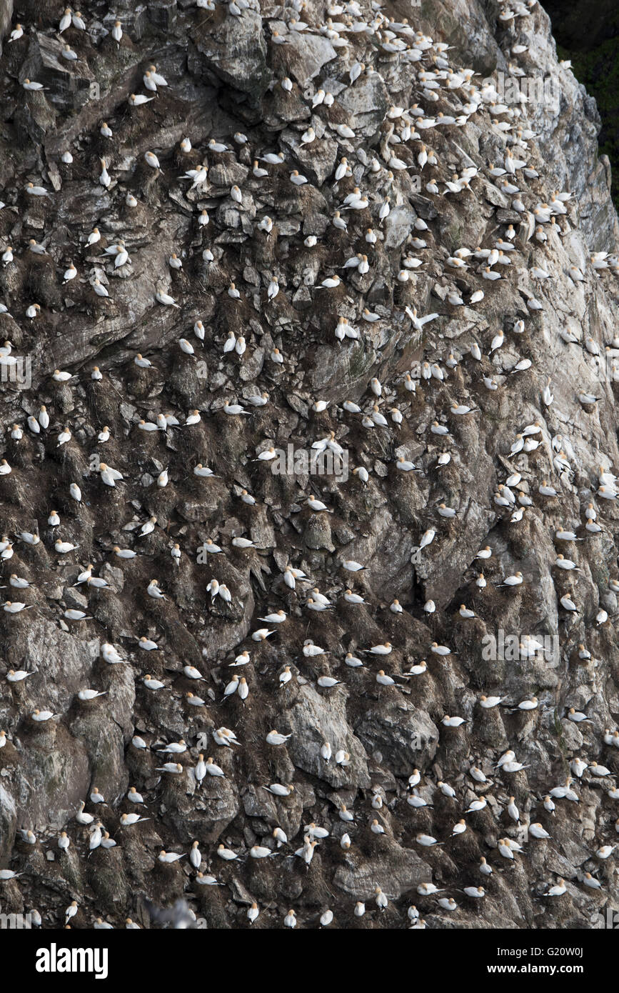 Northern Gannet Sula bassana colony Hermaness Unst Shetland Scotland April - Stock Image