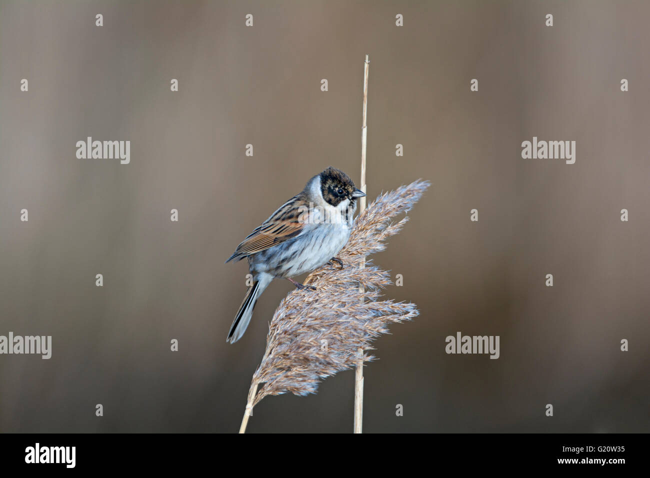 Reed Bunting Emberiza schoeniclus male coming into breeding plumage Cley Norfolk March - Stock Image