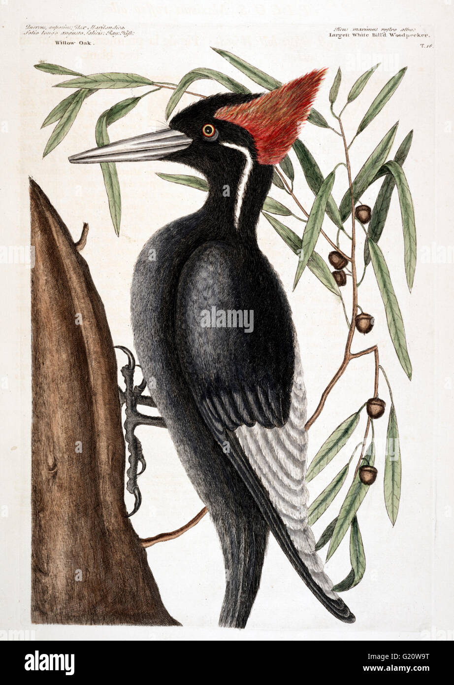 Ivory-billed Woodpecker - Extinct - Plate 16, hand coloured etching from The Natural History of Carolina, Florida - Stock Image