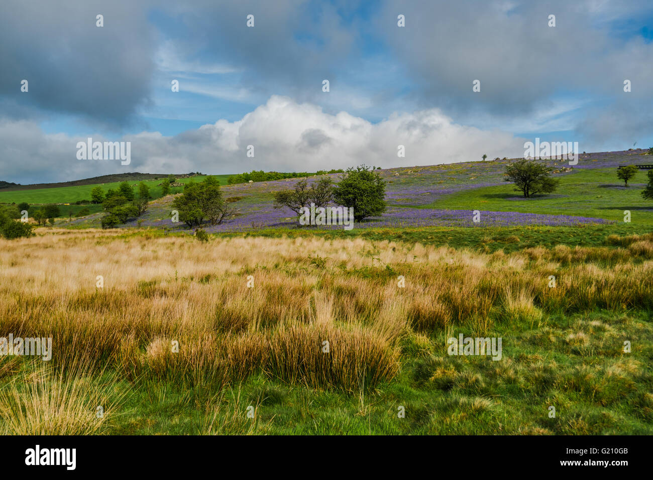 Wild meadow and hills with bluebells in westcountry in UK Stock Photo