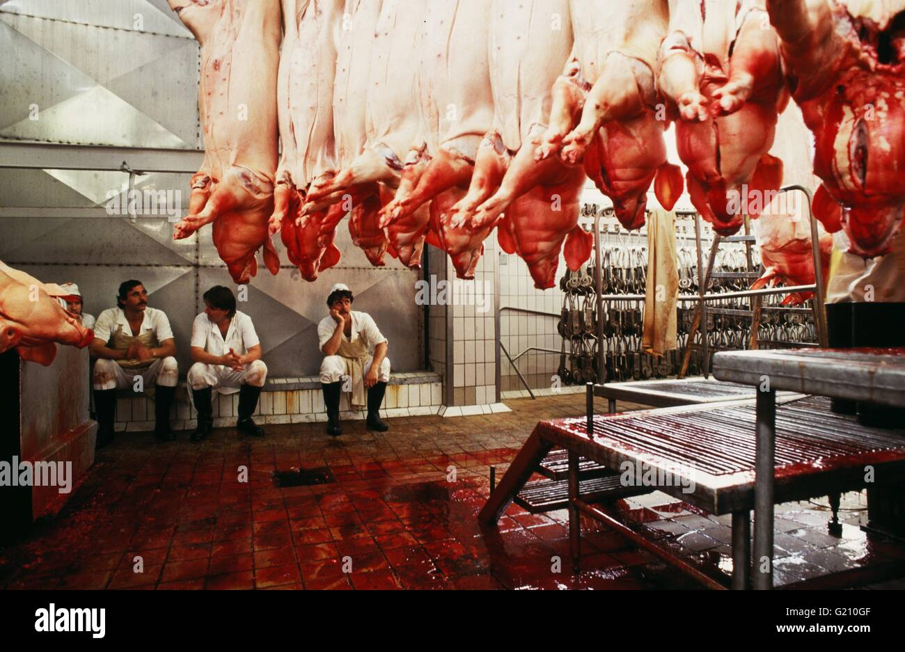 Czech Republic - Studena. Slaughter house. Dead pigs hanging from hooks while butchers take five - Stock Image