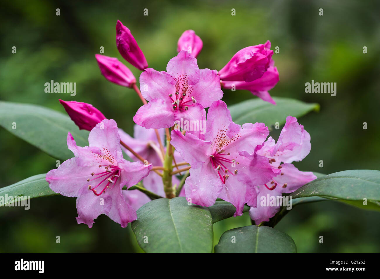 Pacific Rhododendron (Rhododendron macrophyllum) blossom. - Stock Image