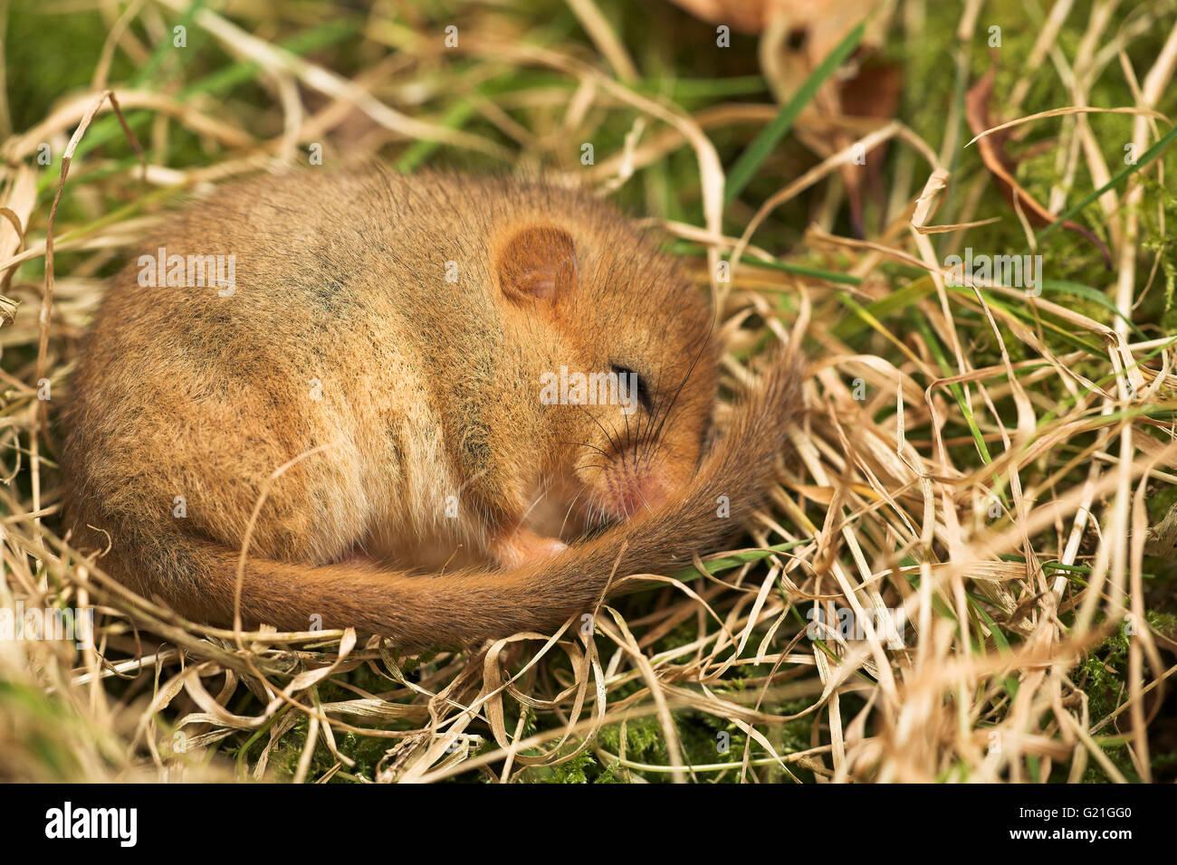 Common dormouse Muscardinus avellanarius hibernating Dorset England - Stock Image