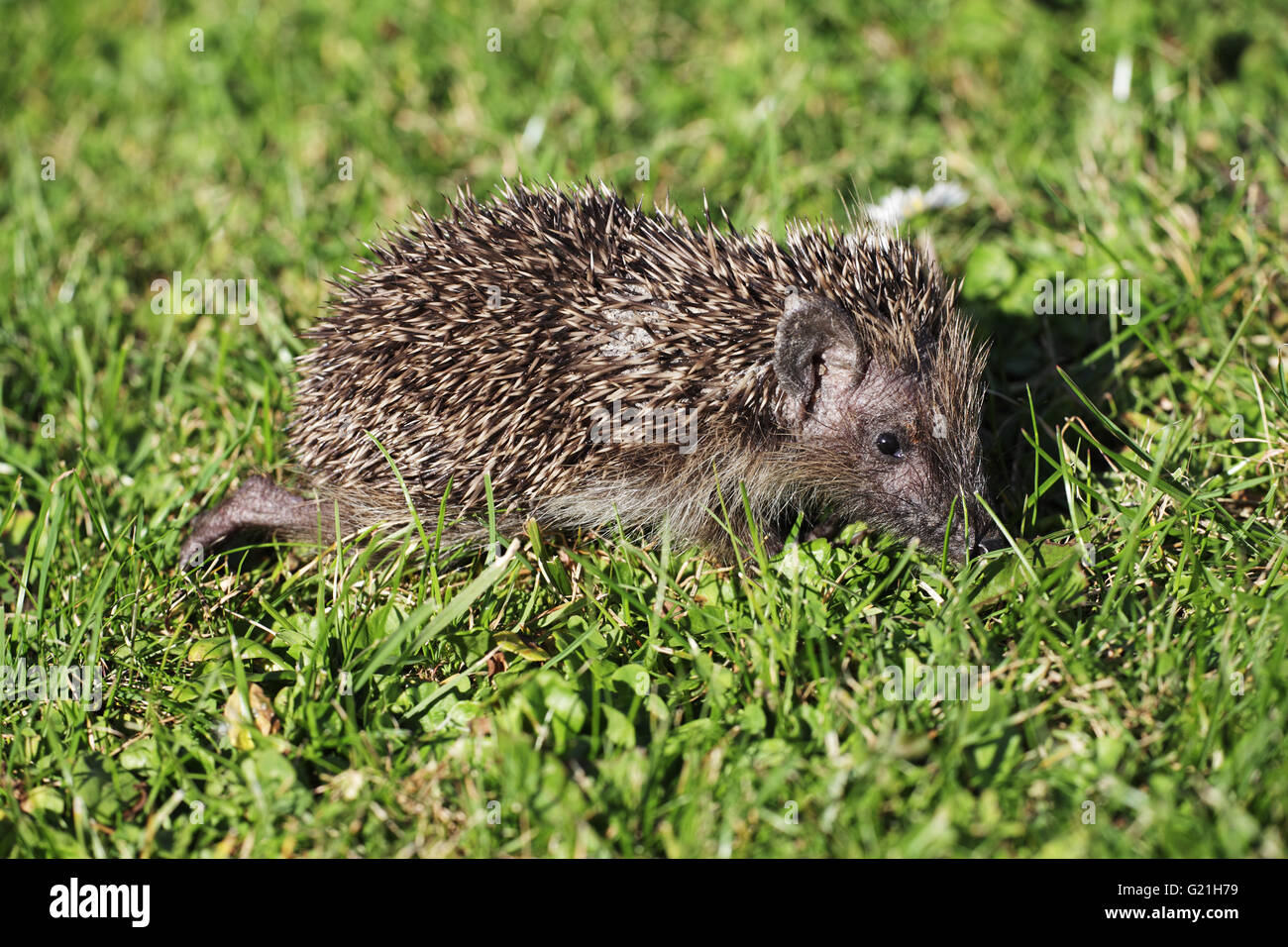 Western hedgehog Erinaceus europaeus very young individual searching for food during very dry weather Ringwood Hampshire - Stock Image