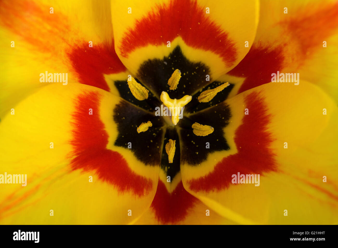 Yellow-red tulip (Tulipa), stamp and stamens, Close, Baden-Württemberg, Germany - Stock Image