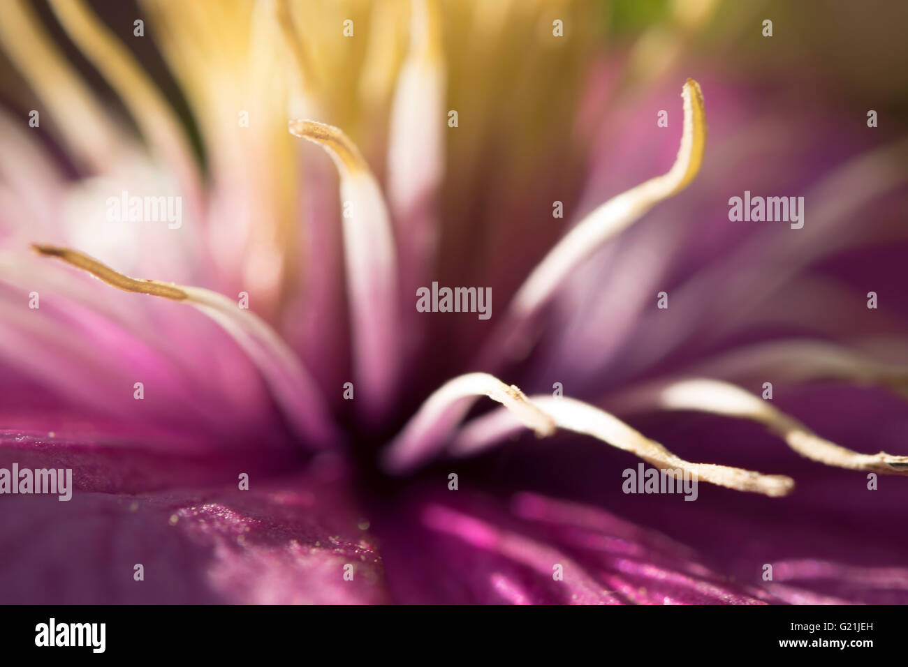 Magenta flower closeup - Stock Image