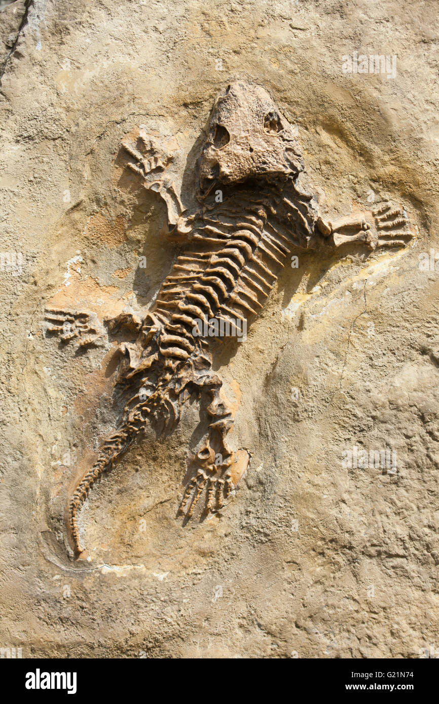 Seymouria (Seymouria baylorensis) from the Early Permian Period found as fossil in North America. Extinct prehistoric - Stock Image