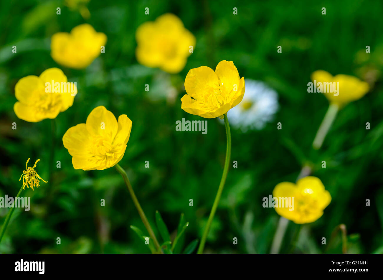 Buttercups (Ranunculus) growing in May in the UK. - Stock Image