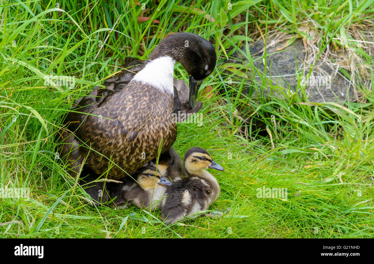 Drake Mallard duck (Anas platyrhynchos) looking after newly born chicks in Spring in West Sussex, UK. - Stock Image