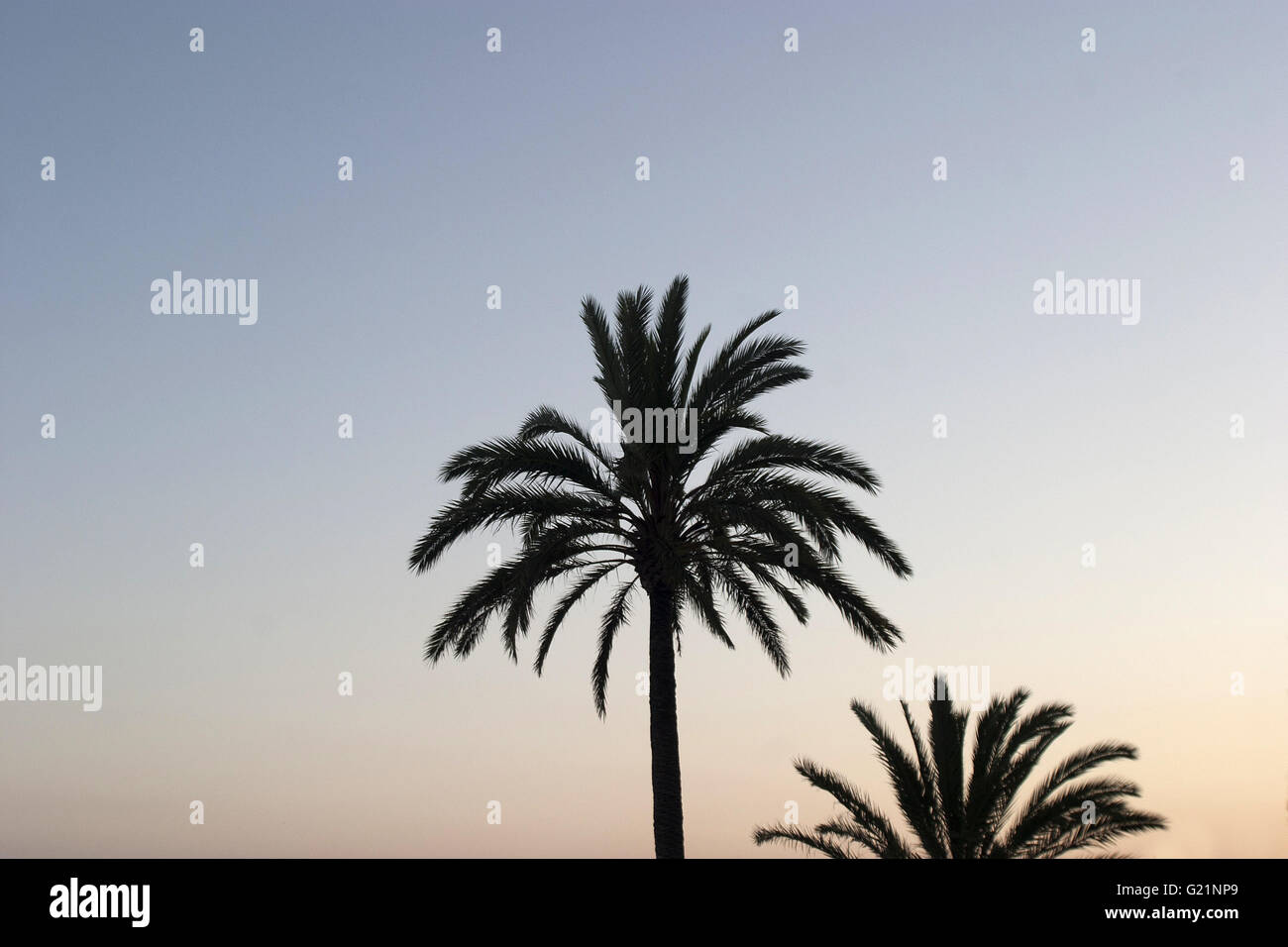 a beautiful poetic picture of two palm trees on the boulevard of Palma shot from below against the sky at sunset, - Stock Image