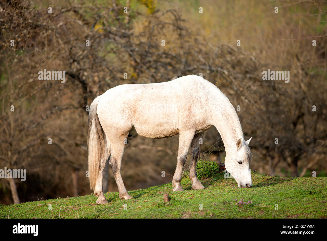 horse waiting outside portrait, andalusian fleabitten grey color - Stock Image