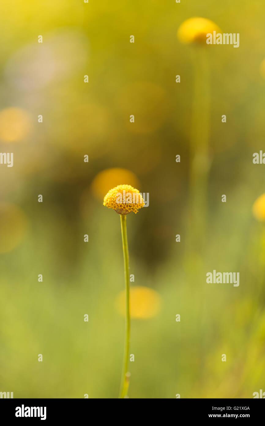 Craspedia billy balls yellow flower blooms on a blurred bokeh green craspedia billy balls yellow flower blooms on a blurred bokeh green background in spring in a botanical garden mightylinksfo