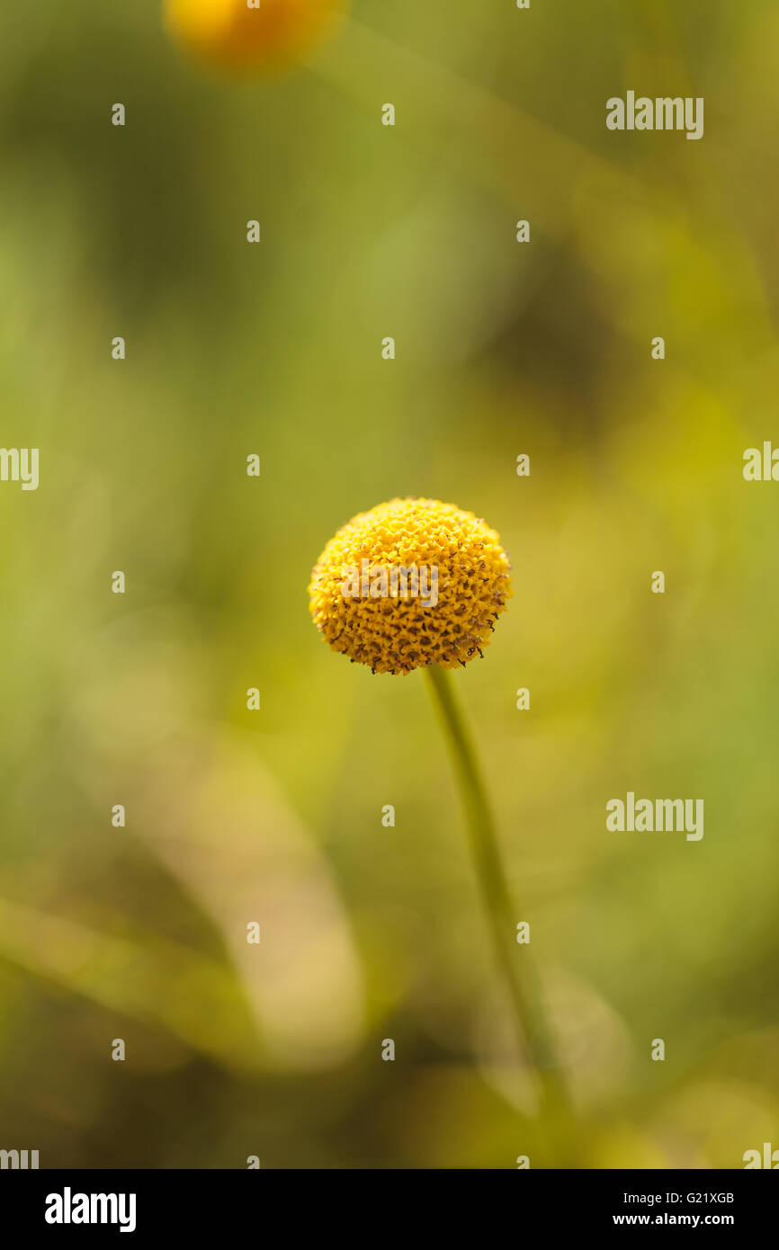 Billy balls yellow flower stock photos billy balls yellow flower craspedia billy balls yellow flower blooms on a blurred bokeh green background in spring in a mightylinksfo