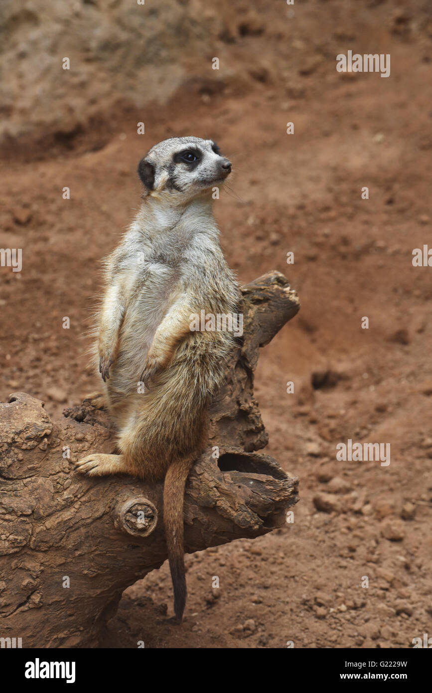 A meerkat on the trunk - Stock Image