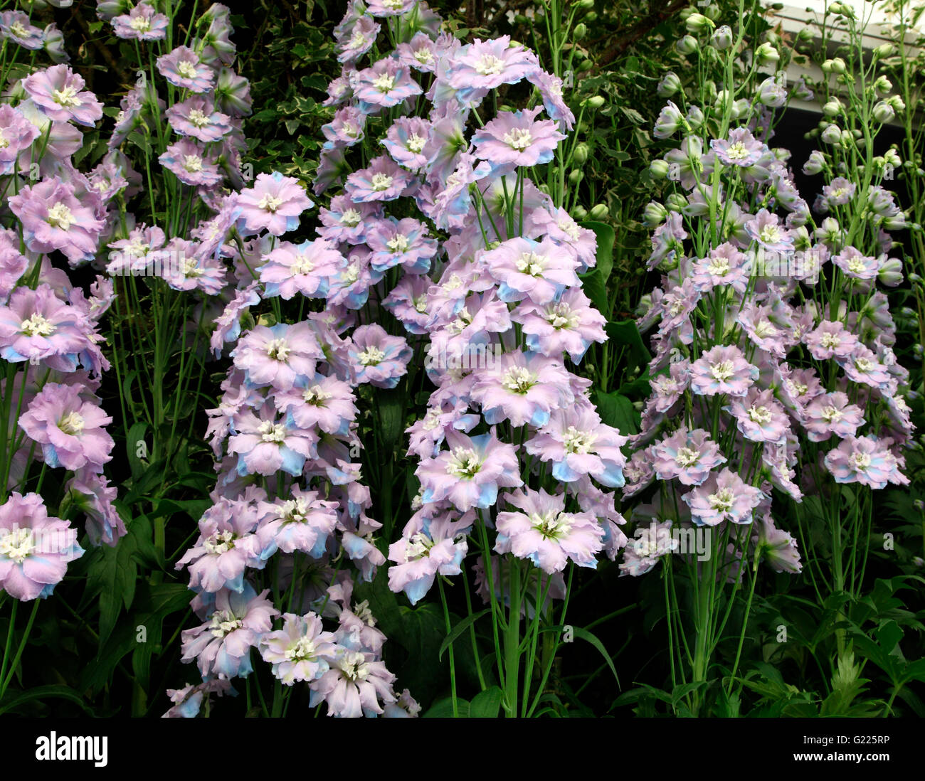 Delphinium Spindrift shown by Blackmore and Langdon at RHS Chelsea Flower Show 2016 - Stock Image