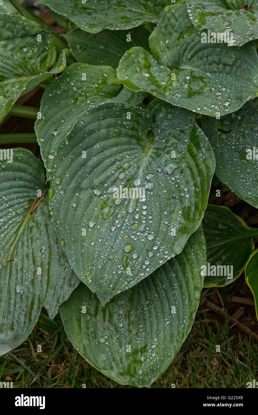 Green leaves. - Stock Image