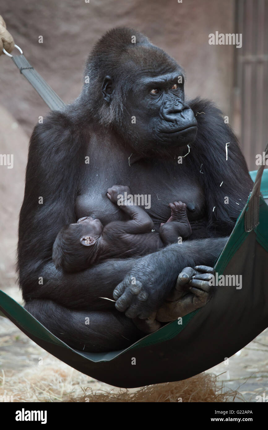 Western lowland gorilla (Gorilla gorilla gorilla) with its two-week-old baby at Prague Zoo, Czech Republic. The - Stock Image
