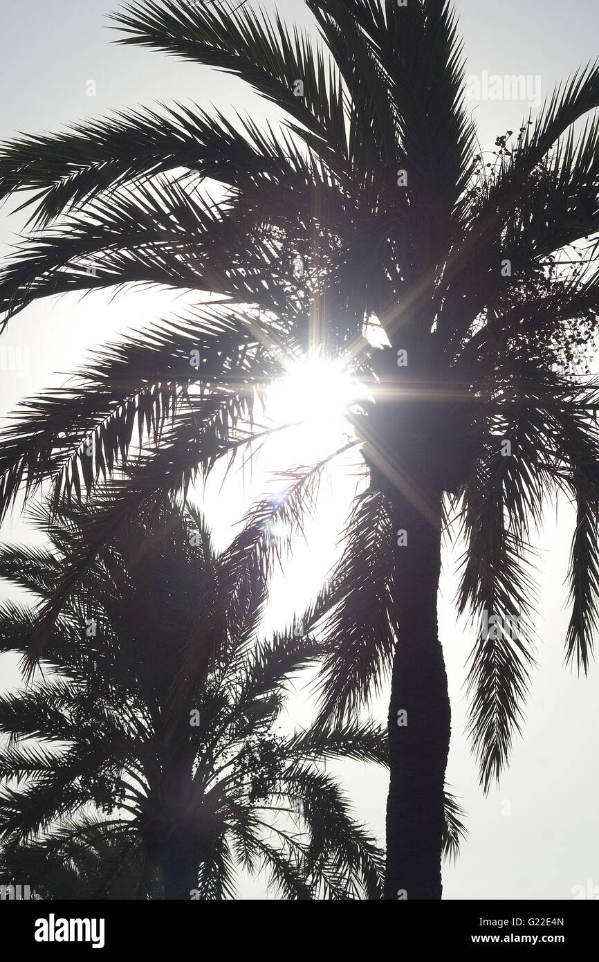 a beautiful poetic detail picture of two palm trees on the boulevard of Palma shot from below against the sun, Palma - Stock Image