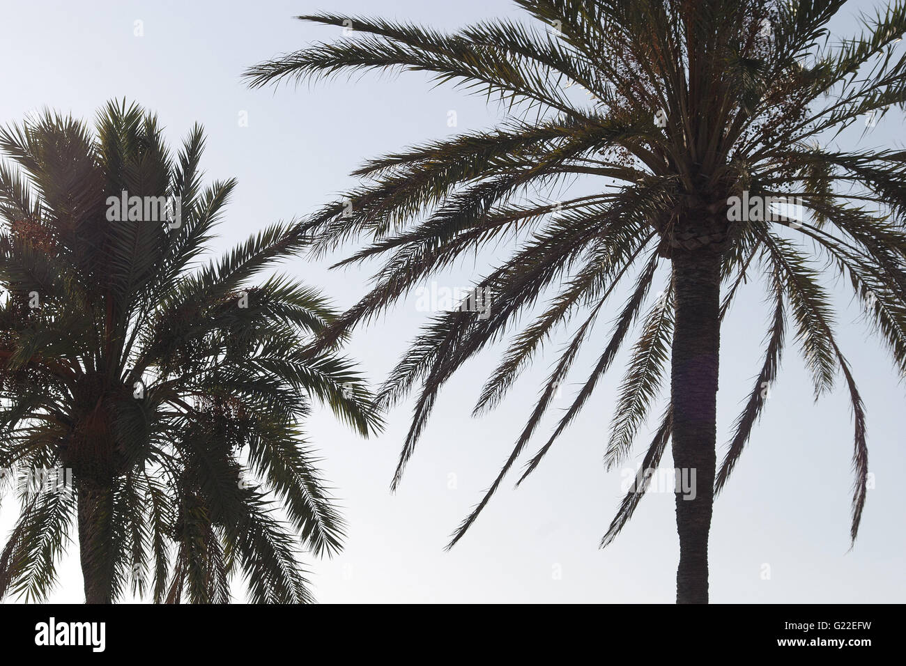 a beautiful poetic detail picture of two palm trees on the boulevard of Palma shot from below against a clear blue - Stock Image