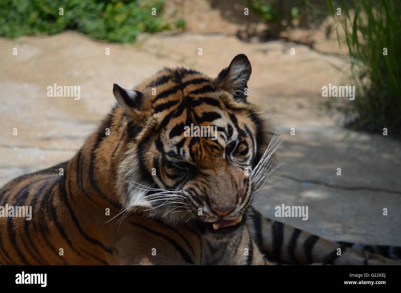 Sumatran Tiger Growling San Antonio Zoo San Antonio Texas USA - Stock Image