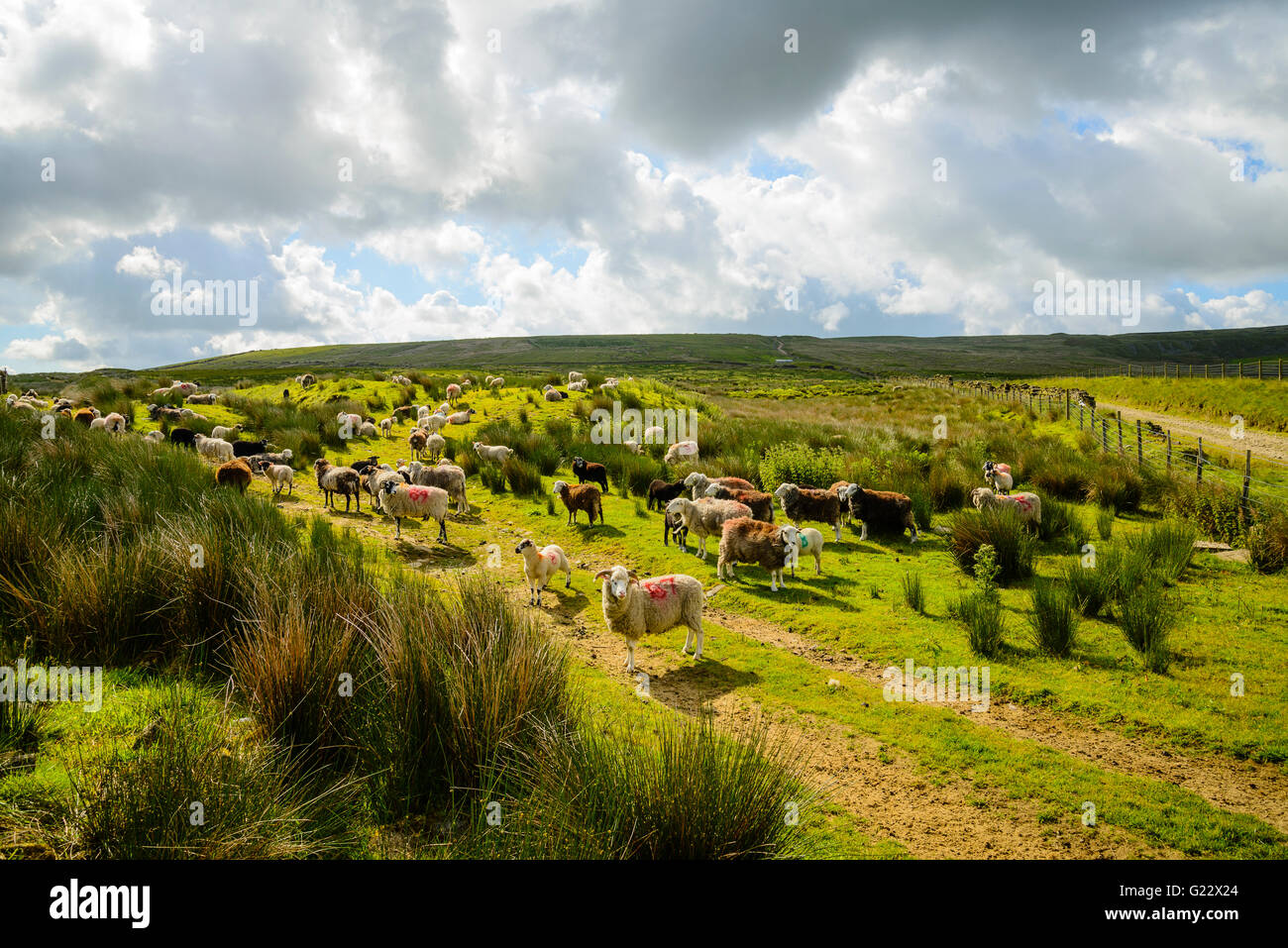 Sheep near Top of Leach on the moors above the Rossendale valley Lancashire Stock Photo