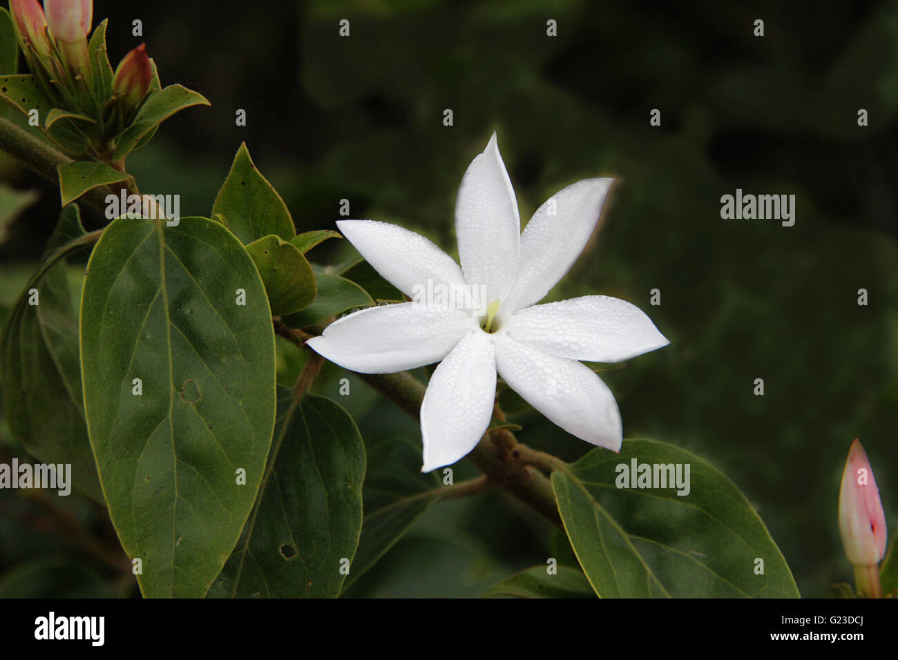 Jasmine Plant Stock Photos Jasmine Plant Stock Images Alamy