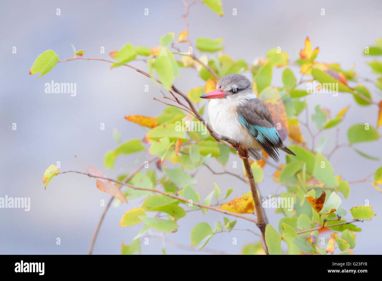 Brown-hooded kingfisher (Halcyon albiventris) on a twig between leaves, Kruger National Park, South Africa, Africa - Stock Image