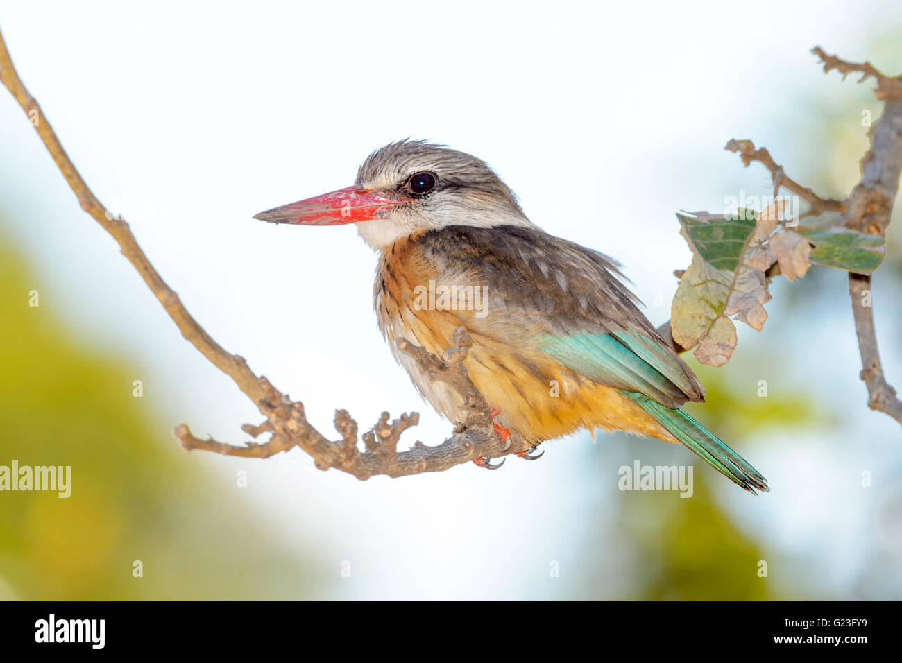 Brown-hooded kingfisher (Halcyon albiventris) on a twig, Kruger National Park, South Africa, Africa - Stock Image