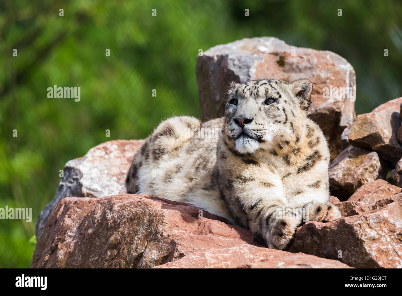 A lone Snow Leopard lying high up on the rocks soaking up the spring sunshine at the South Lakes Zoo in Cumbria. - Stock Image