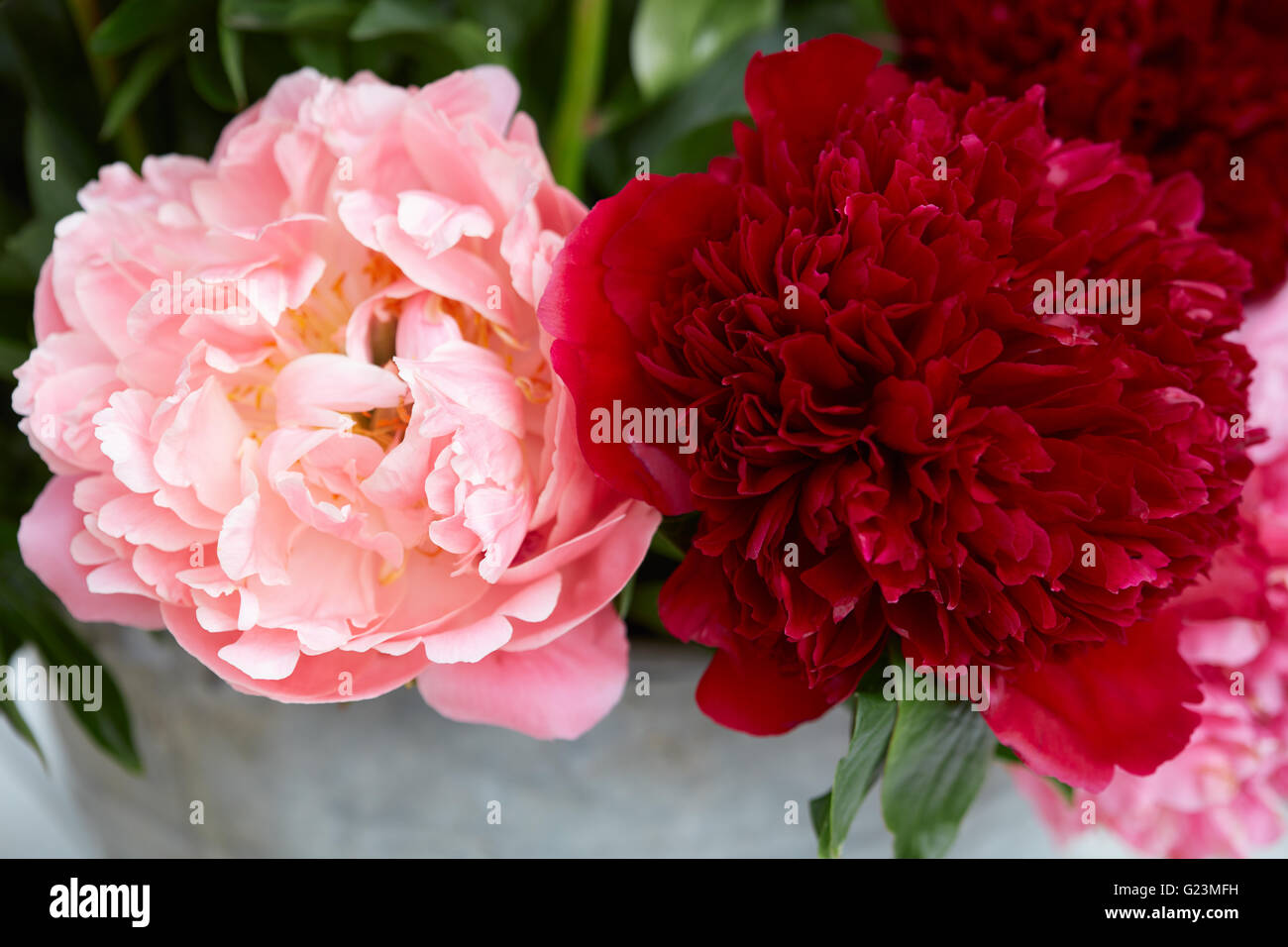 Two peony flowers in red and pink colors with leaves Stock Photo ...