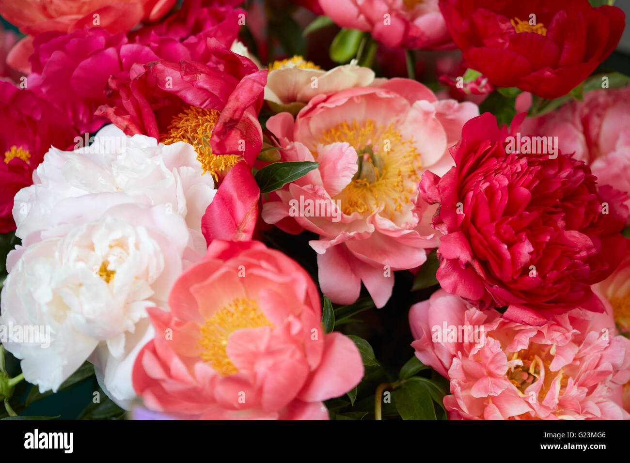 Peony flowers in red, pink and white colors background Stock Photo ...