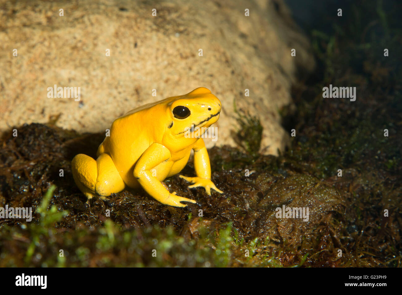 Golden poison frog (Phyllobates terribilis), Point Defiance Zoo and Aquarium, Point Defiance Park, Tacoma, Washington - Stock Image