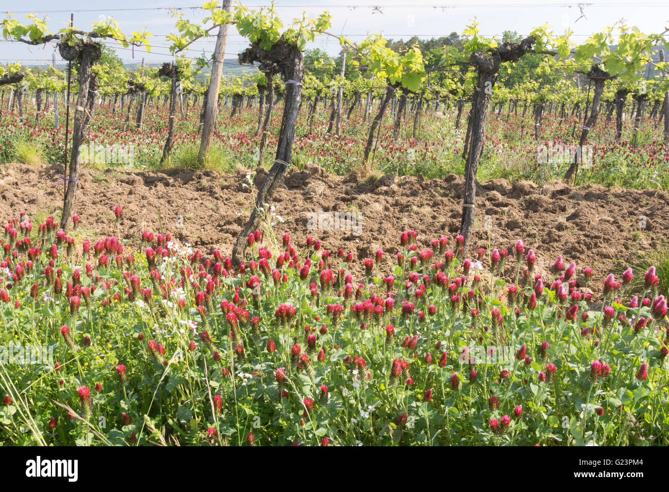 Crimson clover growing between grapevines in Austria for nitrogen fixation - Stock Image