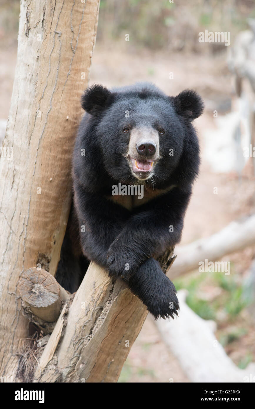 asiatic black bear sit on wood in zoo - Stock Image
