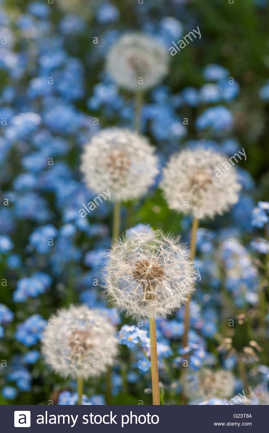 dandelion seed heads - Stock Image