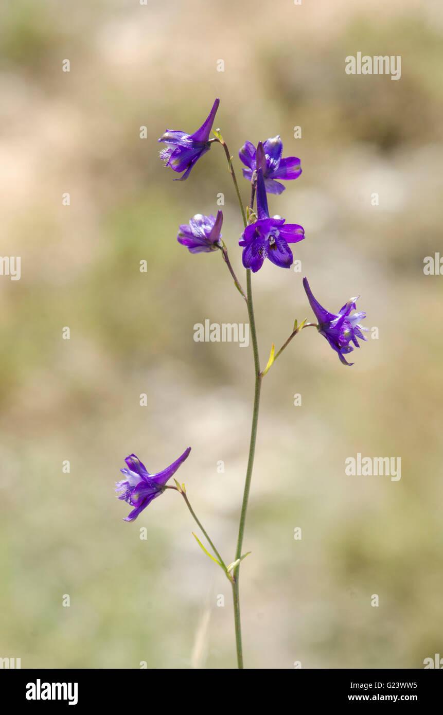 Delphinium ambiguum, Consolida ambigua, Annual larkspur Andalusia, Spain. - Stock Image