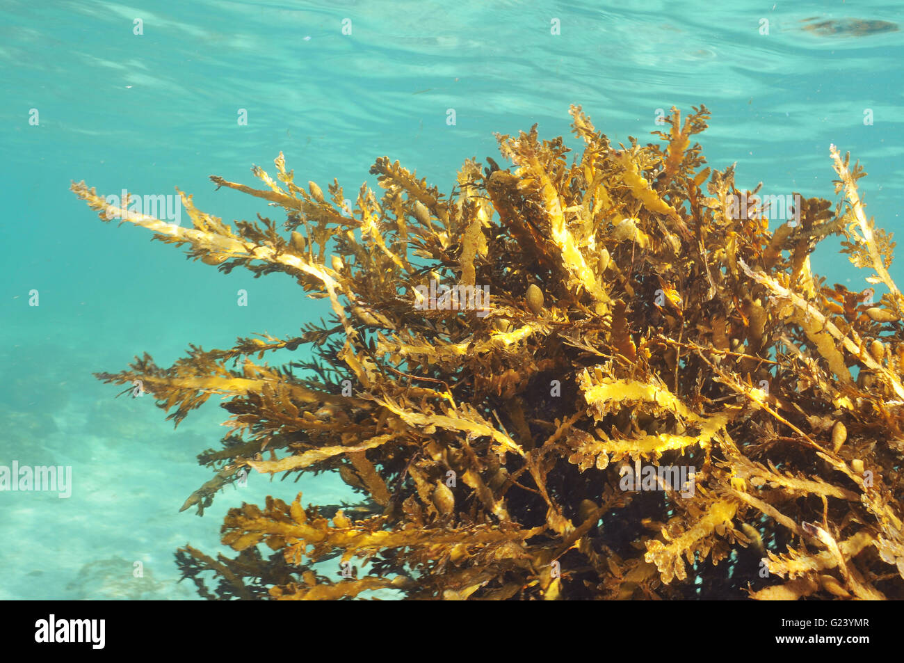 Brown seaweeds in very shallow water - Stock Image