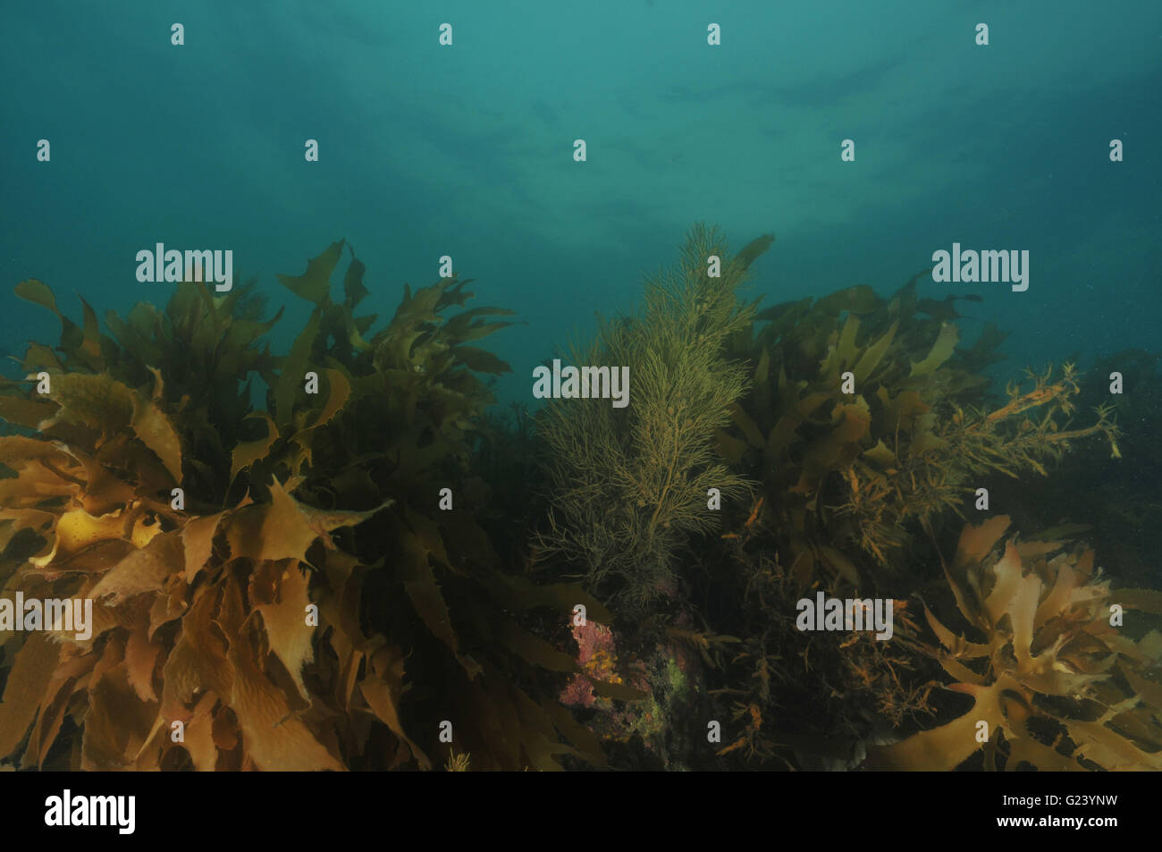 Growth of brown kelp in late evening Stock Photo