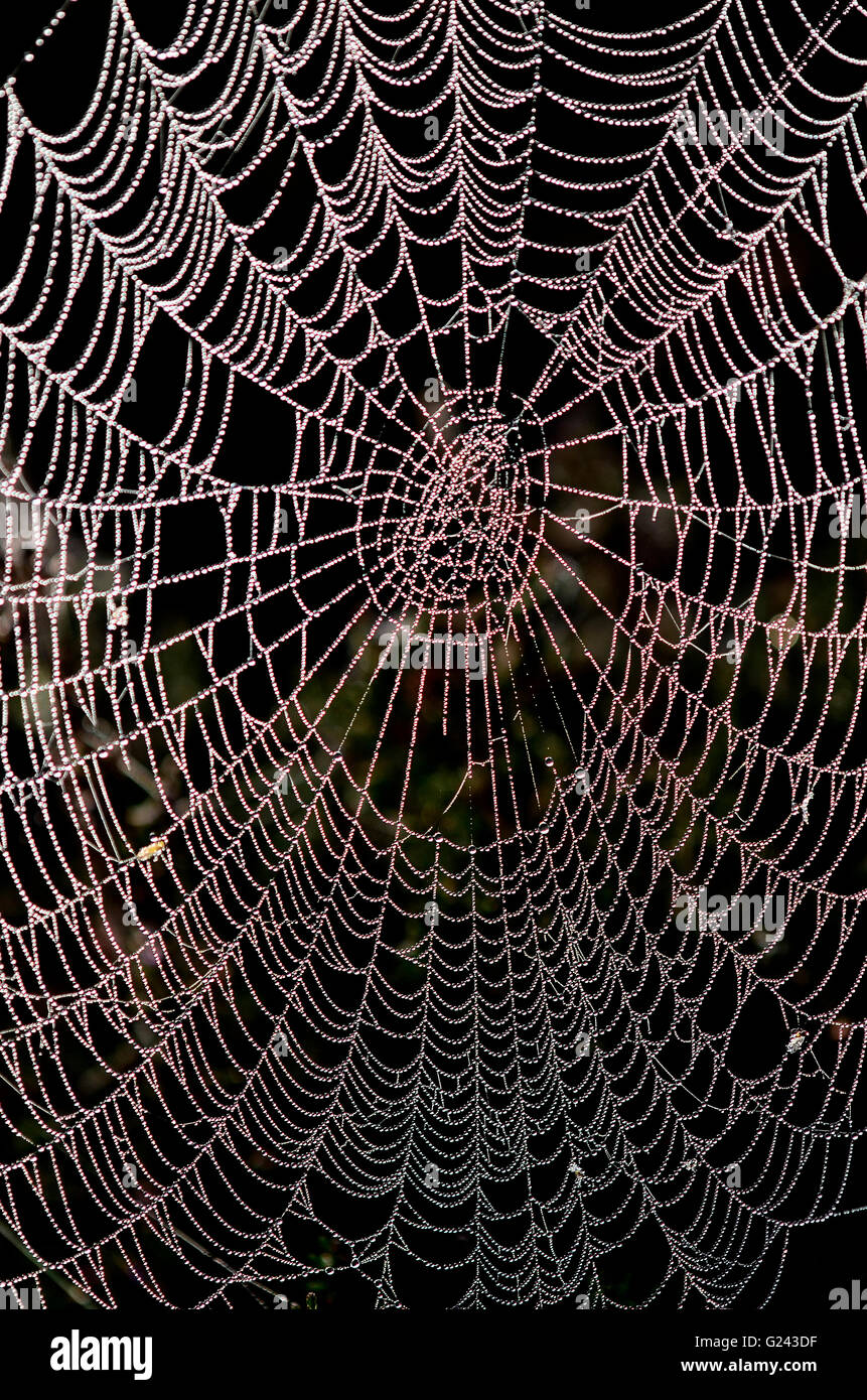 Dew laden orb spinner cobweb - Stock Image