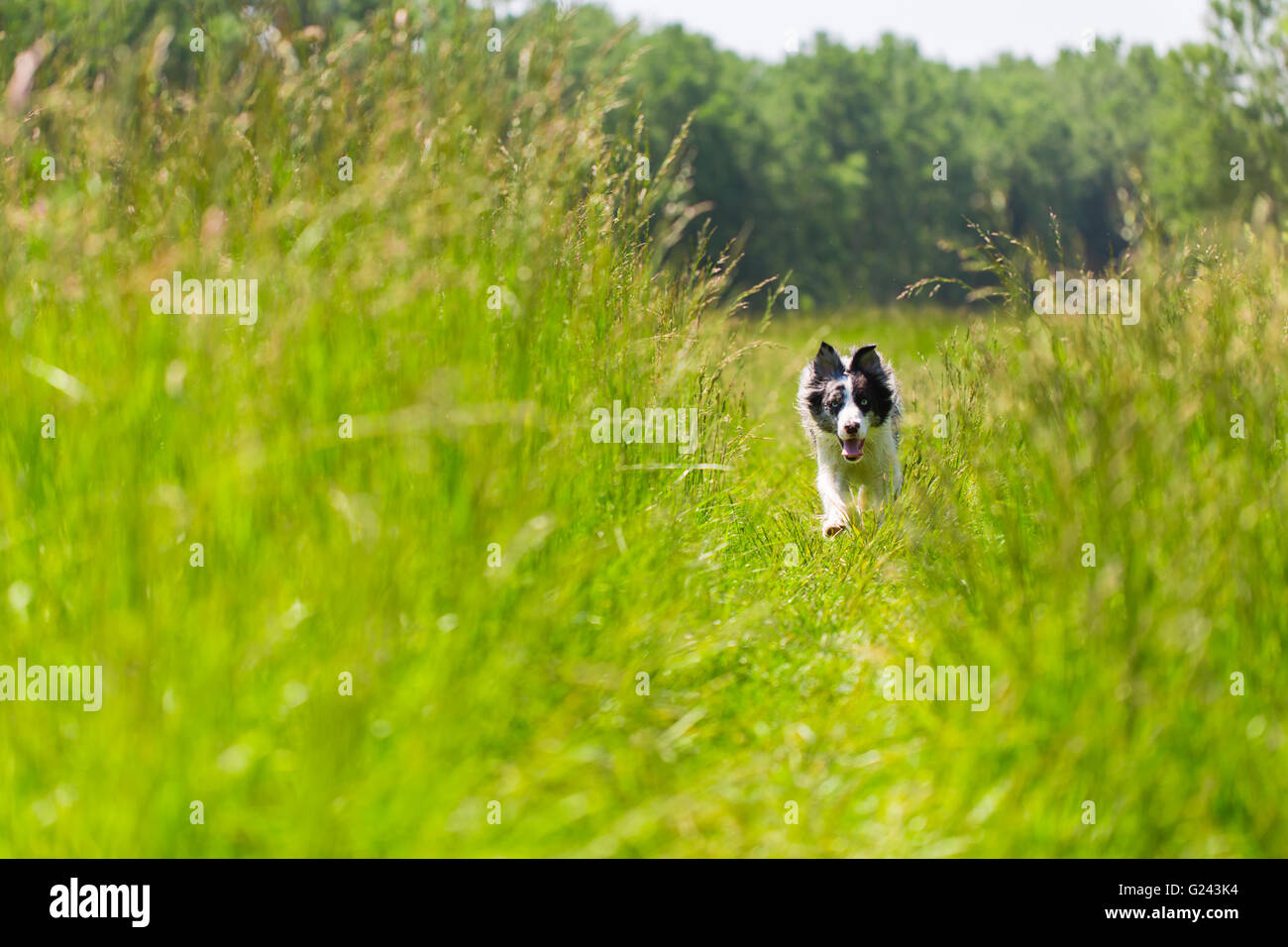 Border Collie in the grass running and training - Stock Image